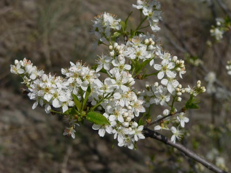 Mahalebka obecná pravá (Prunus mahaleb), NPR Mohelenská hadcová step [TR], 17.4.2007, foto Luděk Čech