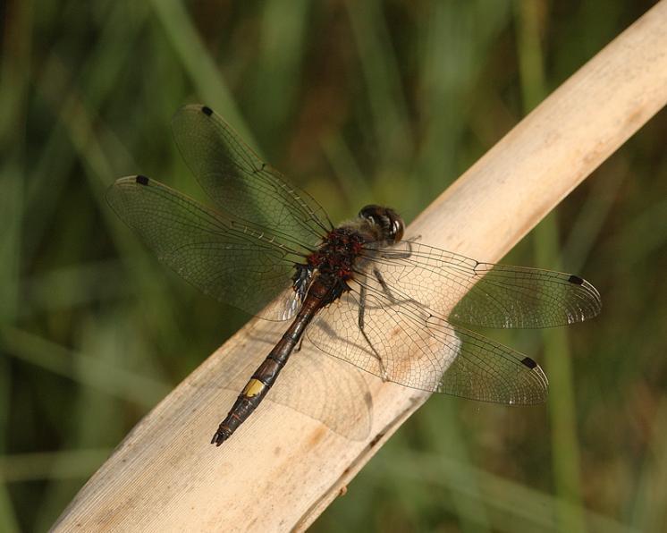Vážka jasnoskvrnná (Leucorrhinia pectoralis), foto Václav Křivan