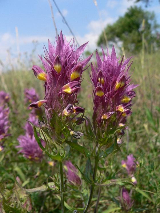 Černýš rolní (Melampyrum arvense), Nová Ves u Třebíče [TR], 21.6.2007, foto Luděk Čech