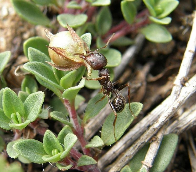 Teplomilný a suchomilný mravenec zrnojed (Messor cf. structor) se u nás vyskytuje jen na několika málo zachovalých lokalitách stepního charakteru, foto Klára Bezděčková.