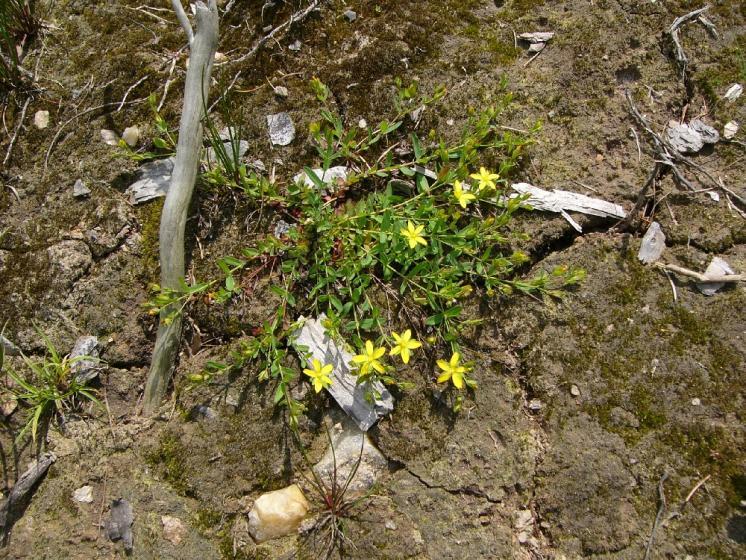 Třezalka rozprostřená (Hypericum humifusum), Bohumilice u Kožlí [HB], 16.6.2011, foto Josef Komárek