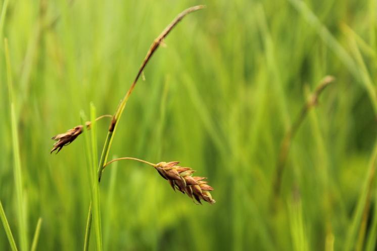 Ostřice bažinná (Carex limosa), PR Doupský a Bažantka [JI], 18.6.2014, foto Libor Ekrt