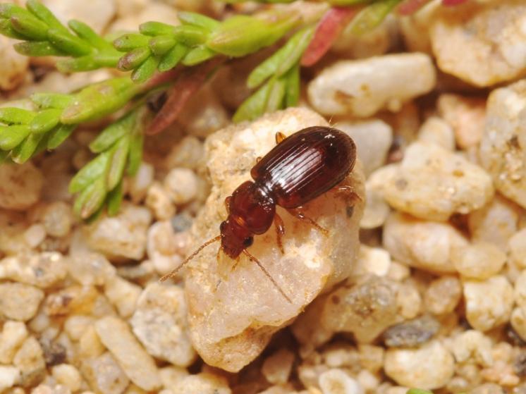 Střevlíček Bradycellus caucasicus, foto Václav Křivan