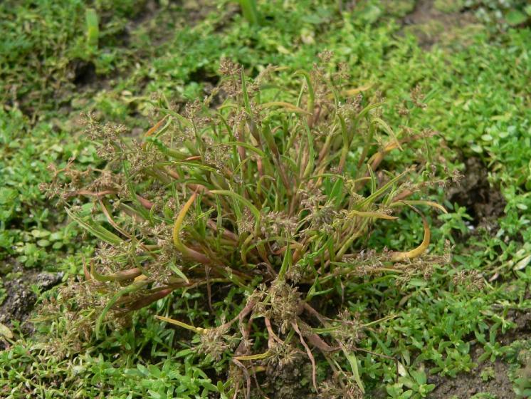Puchýřka útlá (Coleanthus subtilis), Borovná, Nový rybník [JI], 12.6.2007, foto Luděk Čech