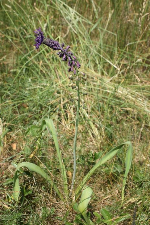 Modřenec chocholatý (Muscari comosum), Okříšky, [TR], 12.6.2015, foto Libor Ekrt