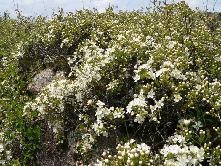 Třešeň křovitá (Prunus fruticosa), Pocoucov [TR], 30.4.2008, foto Luděk Čech