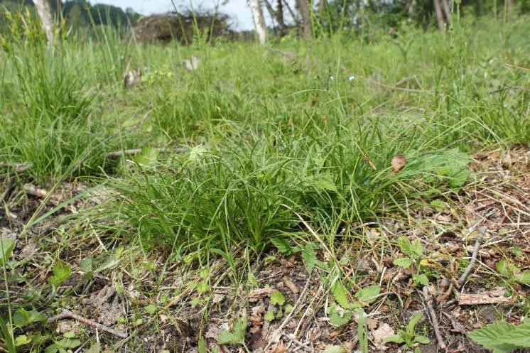 Ostřice stinná (Carex umbrosa), PP Bukovské rybníčky, trs [JI], 29.5.2016, foto Libor Ekrt