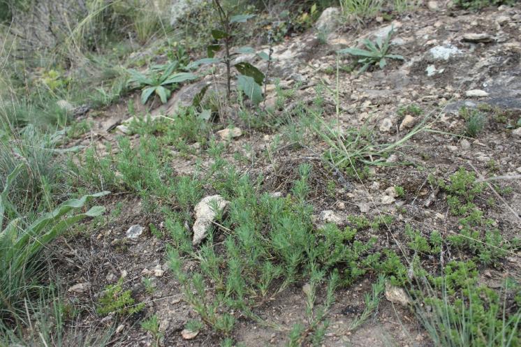 Chruplavník větší (Polycnemum majus), Šemíkovice, Knížecí seč [TR], 14.8.2016, foto Libor Ekrt