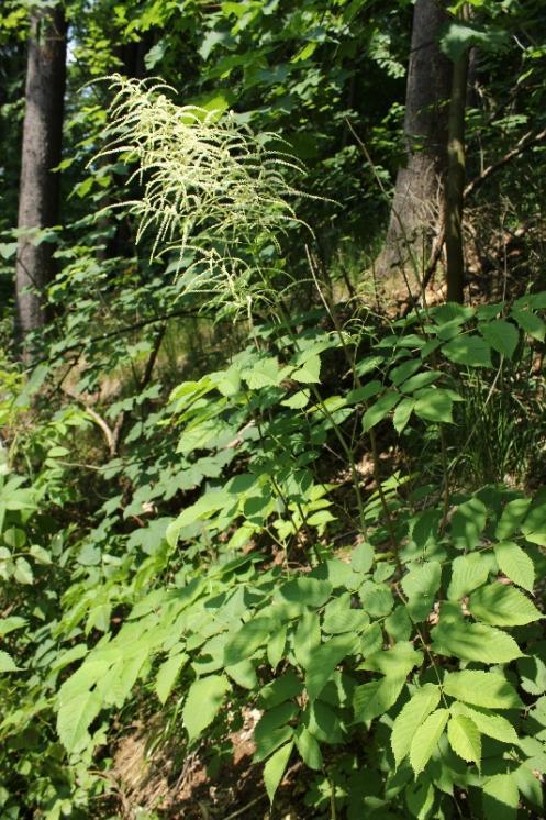 Udatna lesní (Aruncus dioicus), Rantířov, PR Zaječí skok [JI], 13.6.2015, foto Libor Ekrt