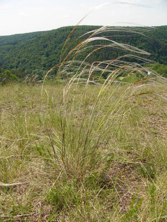 Kavyl chlupatý (Stipa dasyphylla), NPR Mohelenská hadcová step [TR], 8.6.2010, foto Josef Komárek