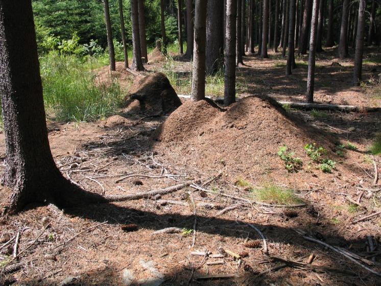 Na lokalitě Vojtův vrch žije největší dosud známá superkolonie mravence lesního (Formica rufa) čítající přes 1 700 kupovitých hnízd, foto Pavel Bezděčka.