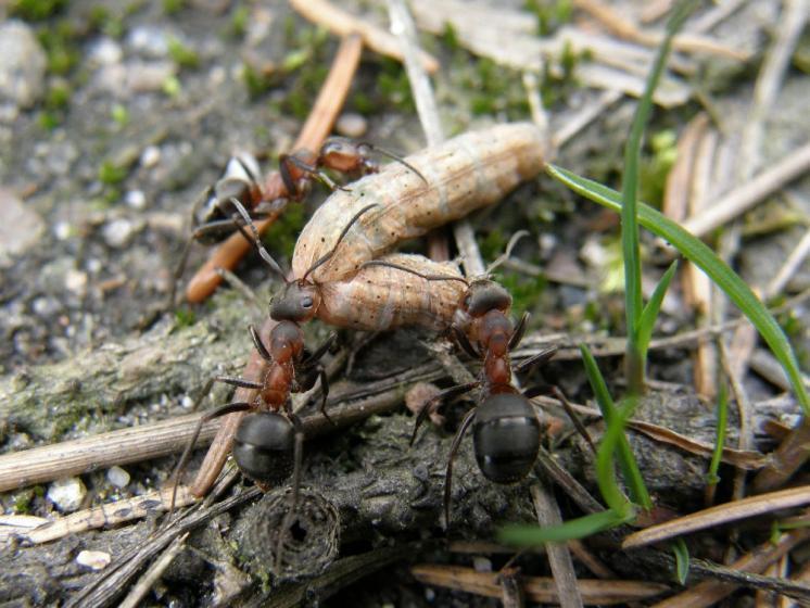 Lesní mravenci (Formica lugubris) v NPR Ransko, foto Klára Bezděčková.