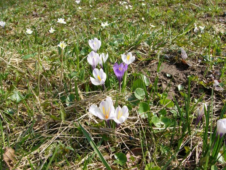 Šafrán bělokvětý (Crocus albiflorus), Nové Město na Moravě, PP U Bezděkova [ZR], 16.4.2010, foto Josef Komárek