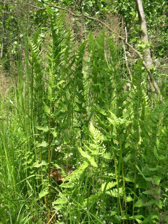 Kapraď hřebenitá (Dryopteris cristata), Jezdovice [JI], 26.6.2006, foto Luděk Čech