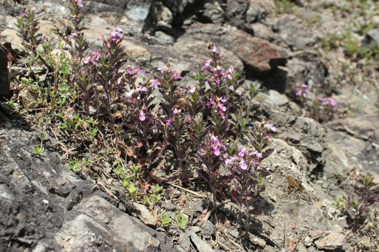 Ožanka kalamandra (Teucrium chamaedrys), NPR Mohelenská hadcová step [TR], 16.6.2015, foto Libor Ekrt