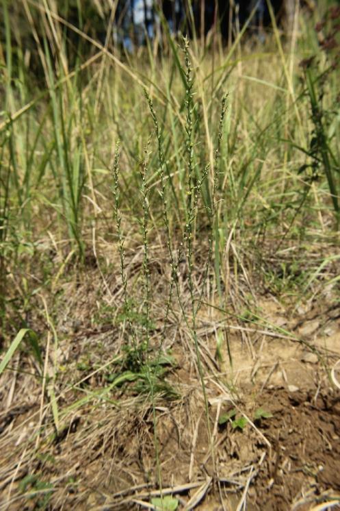 Vrabečnice roční (Thymelaea passerina), PP Křižník [ZR], 30.8.2013, foto Libor Ekrt