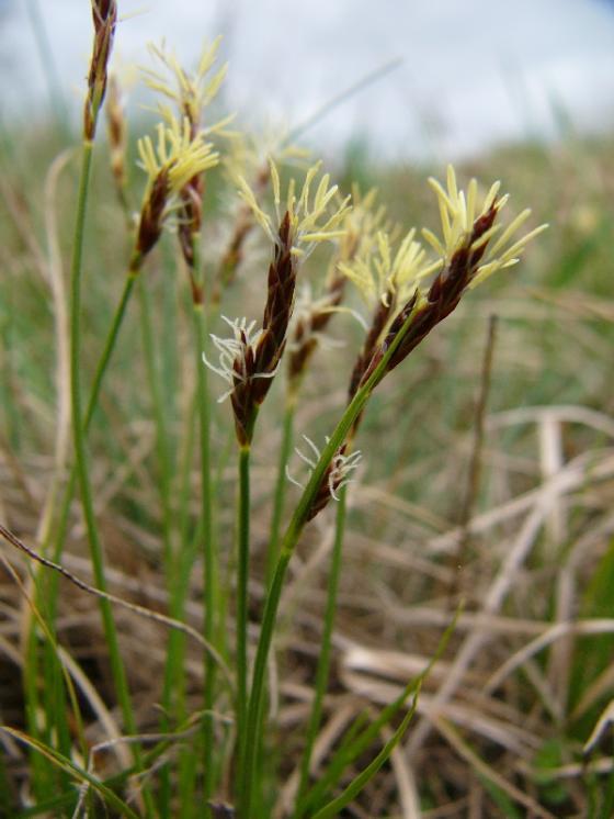 Ostřice drobná (Carex supina), Rouchovany [TR], 6.4.2016, foto Josef Komárek