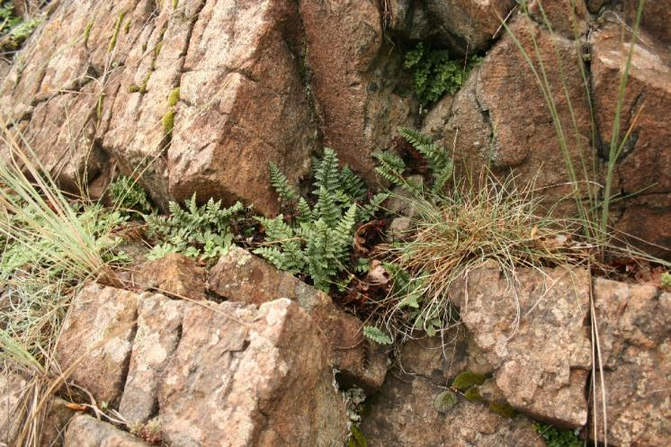 Podmrvka hadcová (Notholaena maranthae), NPR Mohelenská hadcová step [TR], 15.7.2012, foto Libor Ekrt