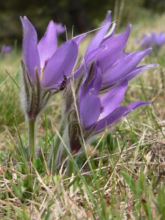 Koniklec velkokvětý pravý (Pulsatilla grandis), Ptáčov [TR], 20.4.2006, foto Luděk Čech