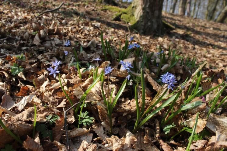 Ladoňka dvoulistá pravá rakouská (Scilla bifolia subsp. bifolia var. drunensis), Plešice, Staré Duby [TR], 10.4.2015, foto Libor Ekrt
