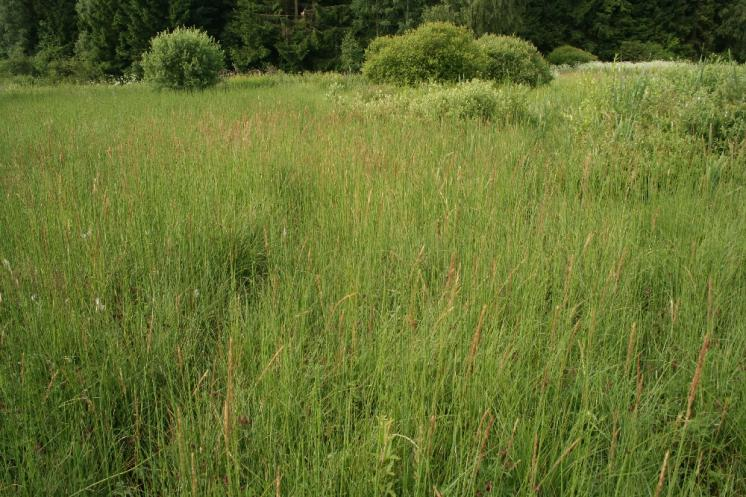 Třtina přehlížená (Calamagrostis stricta), PR V Lisovech, porost [JI], 23.6.2008, foto Libor Ekrt