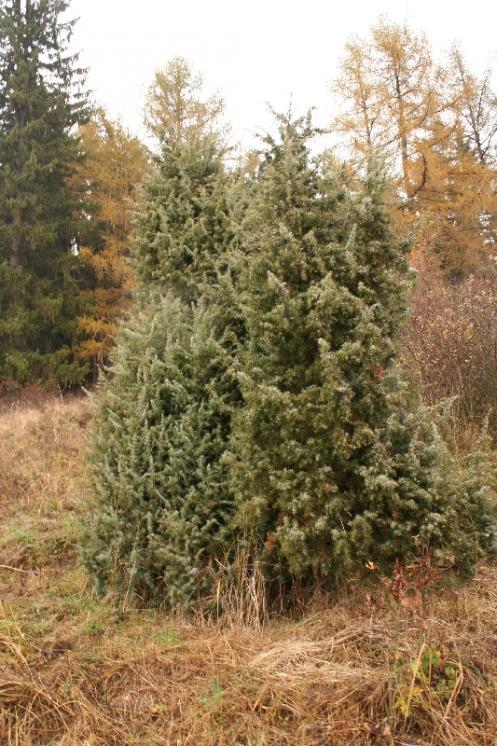 Jalovec obecný (Juniperus communis), Vystrčenovice [JI], 6.11.2005, foto Libor Ekrt