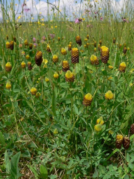 Jetel kaštanový (Trifolium spadiceum), Smrčná [JI], 1.6.2007, foto Luděk Čech