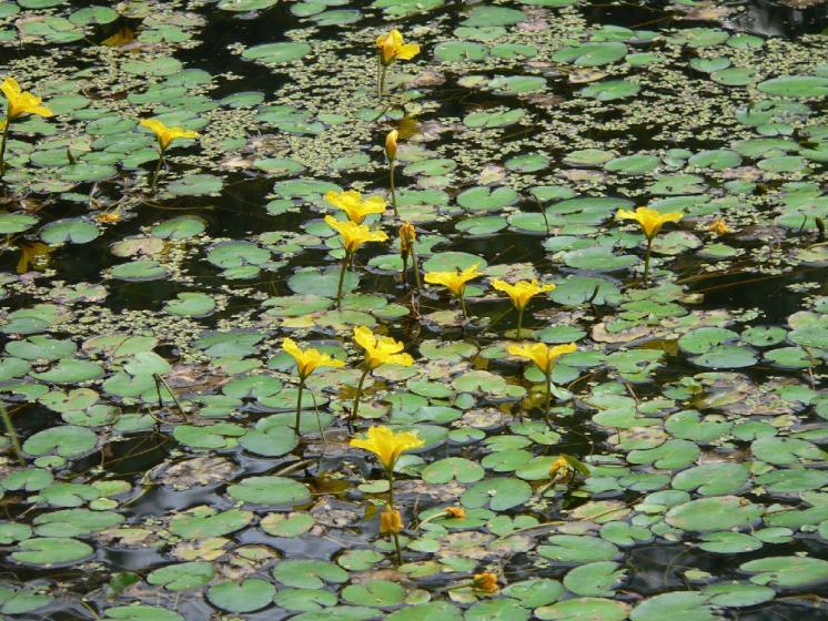 Plavín štítnatý (Nymphoides peltata), Pístov [JI], 30.7.2008, foto Luděk Čech