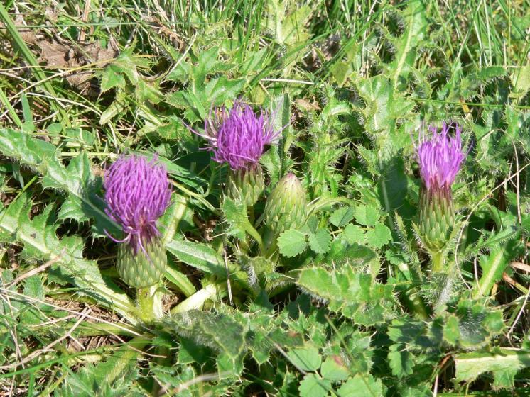 Pcháč bezlodyžný pravý (Cirsium acaulon), Číchov, PP Jalovec [TR], 6.9.2005, foto Luděk Čech
