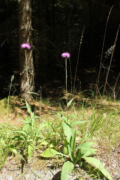 Pcháč různolistý (Cirsium heterophyllum), NPR Žákova hora [ZR], 10.7.2015, foto Libor Ekrt