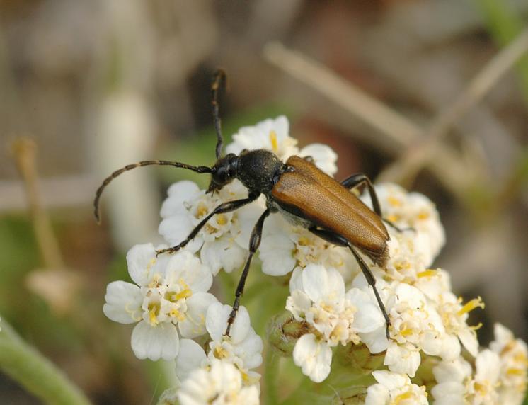 Tesařík Brachyleptura maculicornis, Zašovice, foto Václav Křivan