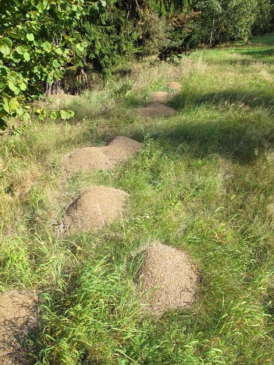 Kolonie vzácného a velmi ohroženého mravence pastvinného (Formica exsecta), foto Pavel Bezděčka.