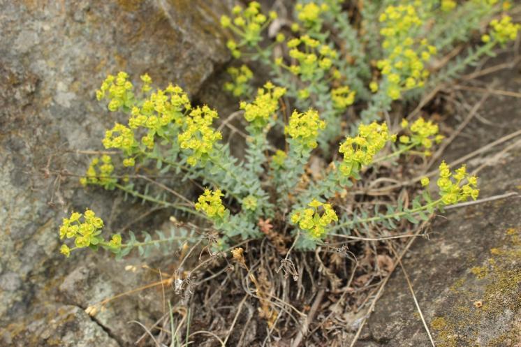 Pryšec sivý menší (Euphorbia seguieriana subsp. minor), NPR Mohelenská hadcová step [TR], 29.4.2014, foto Libor Ekrt