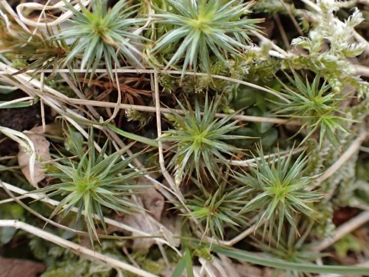 Ploník jalovcový (Polytrichum juniperinum), PP Syenitové skály u Pocoucova, 8.4.2015, foto Svatava Kubešová
