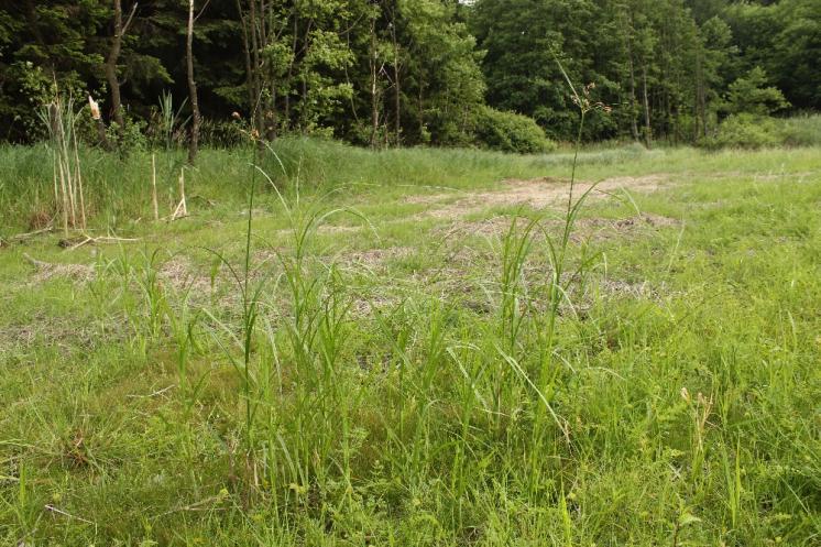 Kamyšník vrcholičnatý (Bolboschoenus yagara), PP Rybníky V Pouštích, Jezírko [JI], 12.7.2015, foto Libor Ekrt