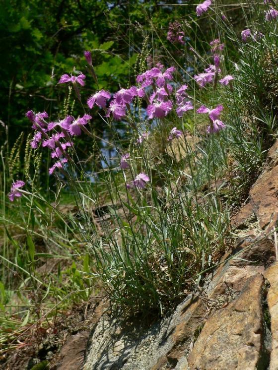 Hvozdík moravský (Dianthus moravicus), PR Suché skály [TR], 15.6.2006, foto Luděk Čech