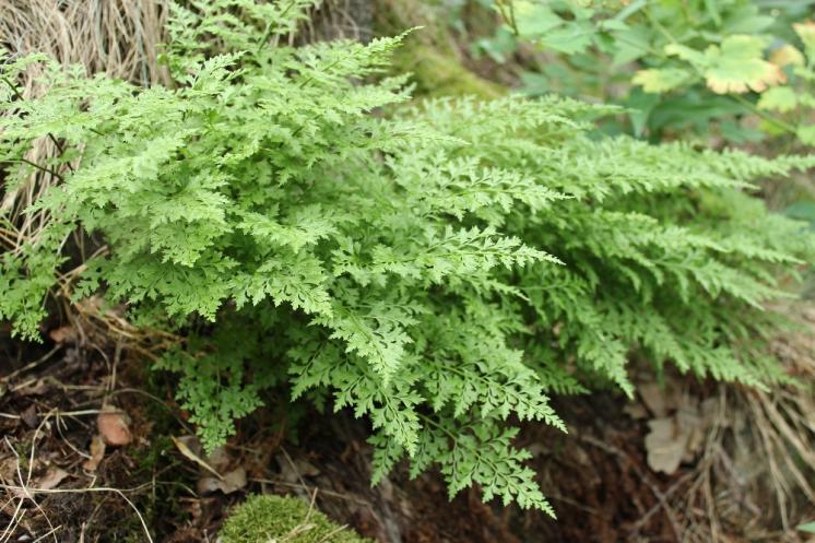 Sleziník hadcový (Asplenium cuneifolium), NPR Mohelenská hadcová step [TR], 10.6.2015, foto Libor Ekrt