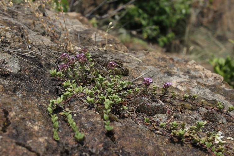 Mateřídouška časná pravá (Thymus praecox), NPR Mohelenská hadcová step [TR], 10.6.2015, foto Libor Ekrt