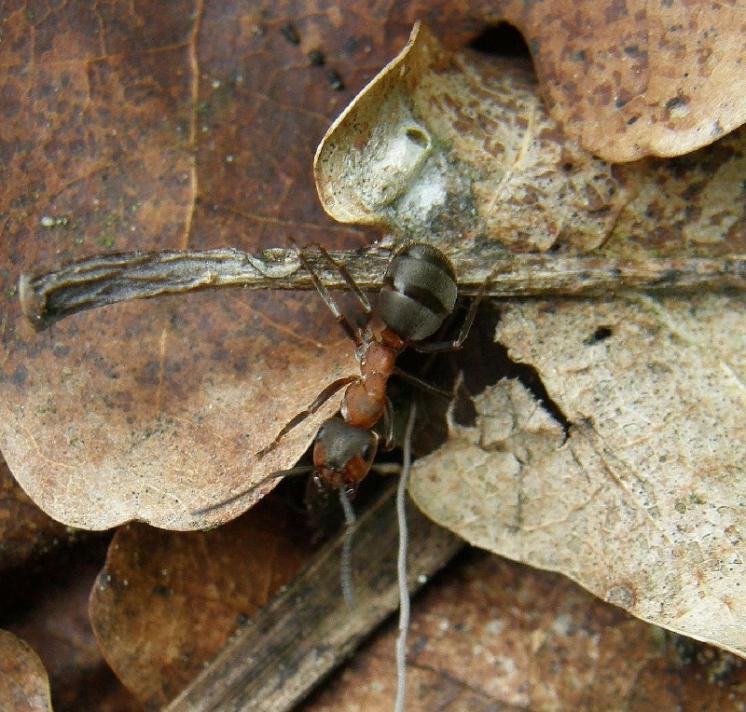 Mravenci lesní (Formica rufa) hrají ve společenstvech bezobratlých často klíčovou roli, foto Klára Bezděčková.