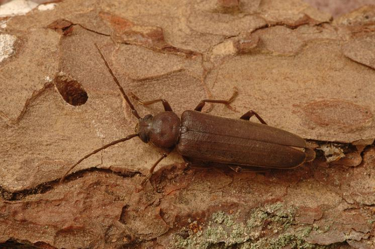 Tesařík hnědý (Arhopalus rusticus), Štěměchy, foto Václav Křivan