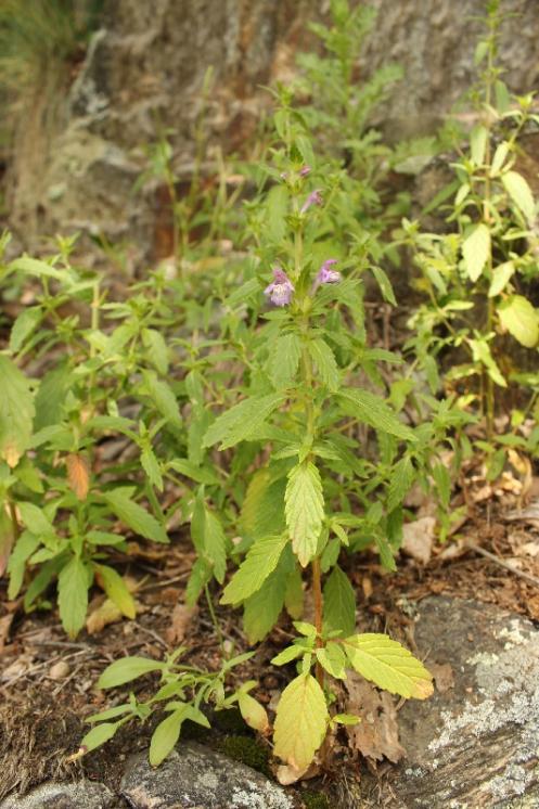 Konopice širolistá (Galeopsis ladanum), PR Údolí Oslavy a Chvojnice [TR], 30.6.2013, foto Libor Ekrt