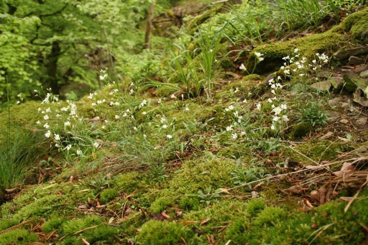 Řeřišničník skalní (Arabidopsis petraea), PR Údolí Oslavy a Chvojnice, Lemberk [TR], 8.5.2010, foto Libor Ekrt