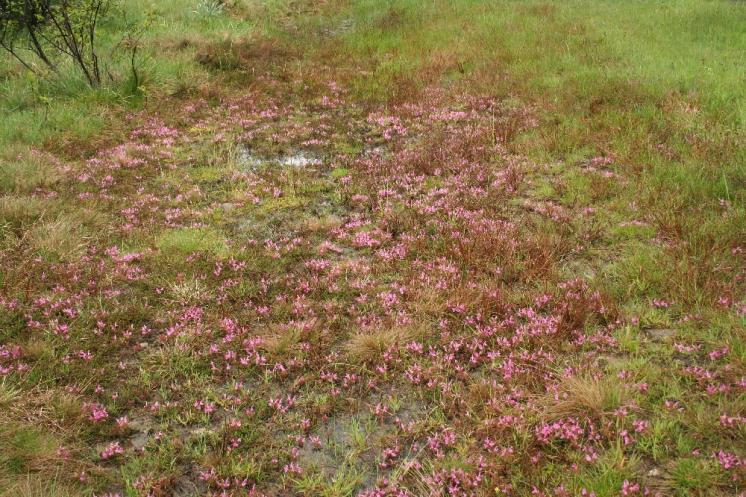 Všivec lesní pravý (Pedicularis sylvatica), Horní Pole [JH], 21.5.2008, foto Libor Ekrt