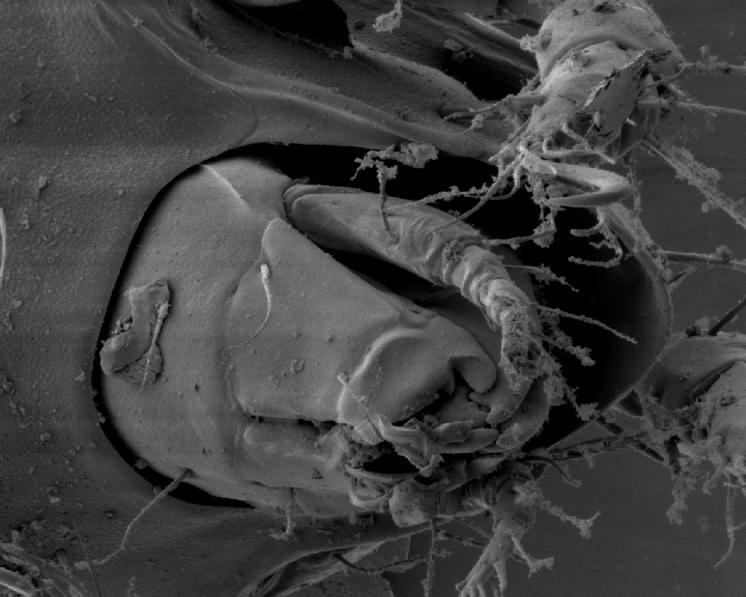 Pancířník Melanozetes meridianus Sellnick, 1928 – detailní pohled na gnathozoma s chelicerami, rytelem a palpami, sloužícími k přijímání a rozmělňování potravy, foto Josef Starý.