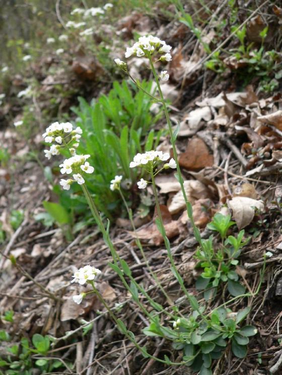 Penízek horský (Noccaea montana), Dukovany [TR], 27.4.2010, foto Luděk Čech