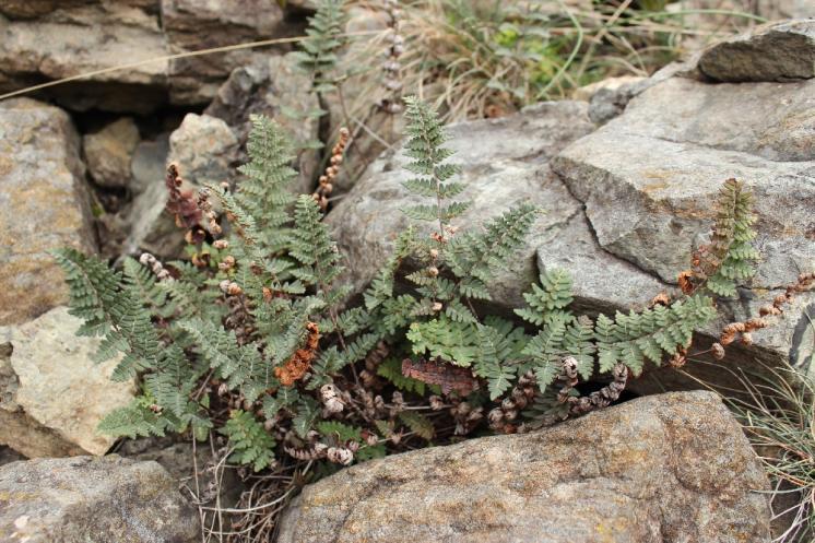 Podmrvka hadcová (Notholaena maranthae), NPR Mohelenská hadcová step [TR], 25.9.2014, foto Libor Ekrt