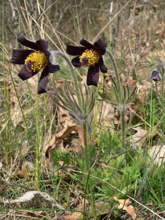 Koniklec luční český (Pulsatilla pratensis subsp. bohemica), Mohelno [TR], 7.4.2009, foto Luděk Čech