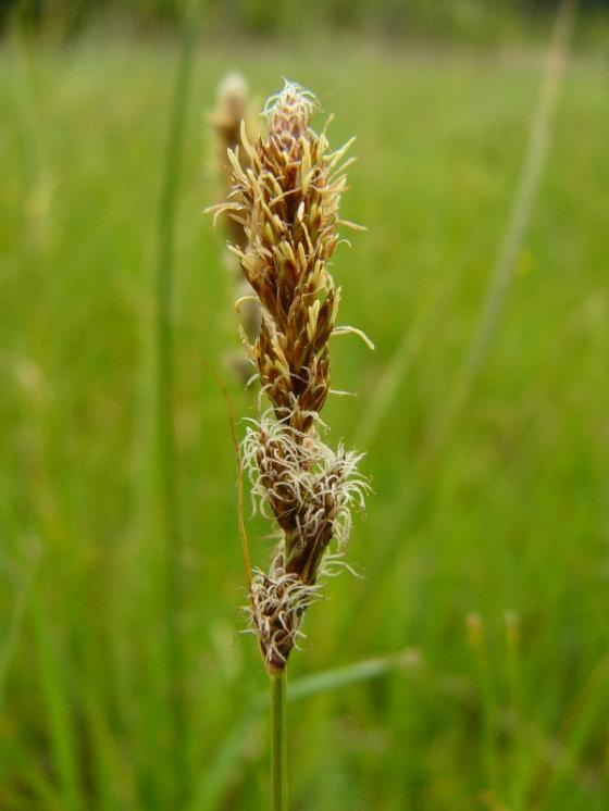 Ostřice dvouřadá (Carex disticha), Studenec [TR], 15.5.2014, foto Josef Komárek