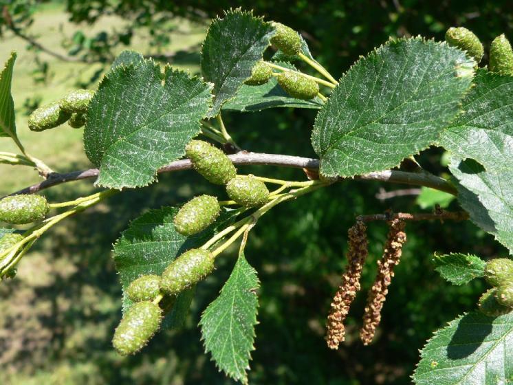 Olše zelená (Alnus alnobetula), Petrovice u Štoků [HB], 30.5.2011, foto Luděk Čech