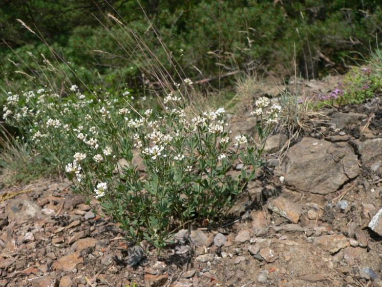 Bílojetel německý (Dorycnium germanicum), Mohelno, Za roklí [TR], 20.6.2006, foto Luděk Čech